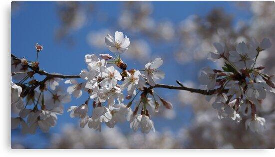Cherry Blossom by Clickchic