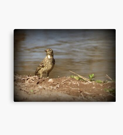 American Pipit Canvas Print