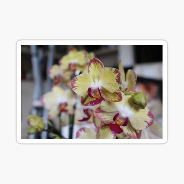Phalaenopsis Butterfly/Moth Orchid Sticker