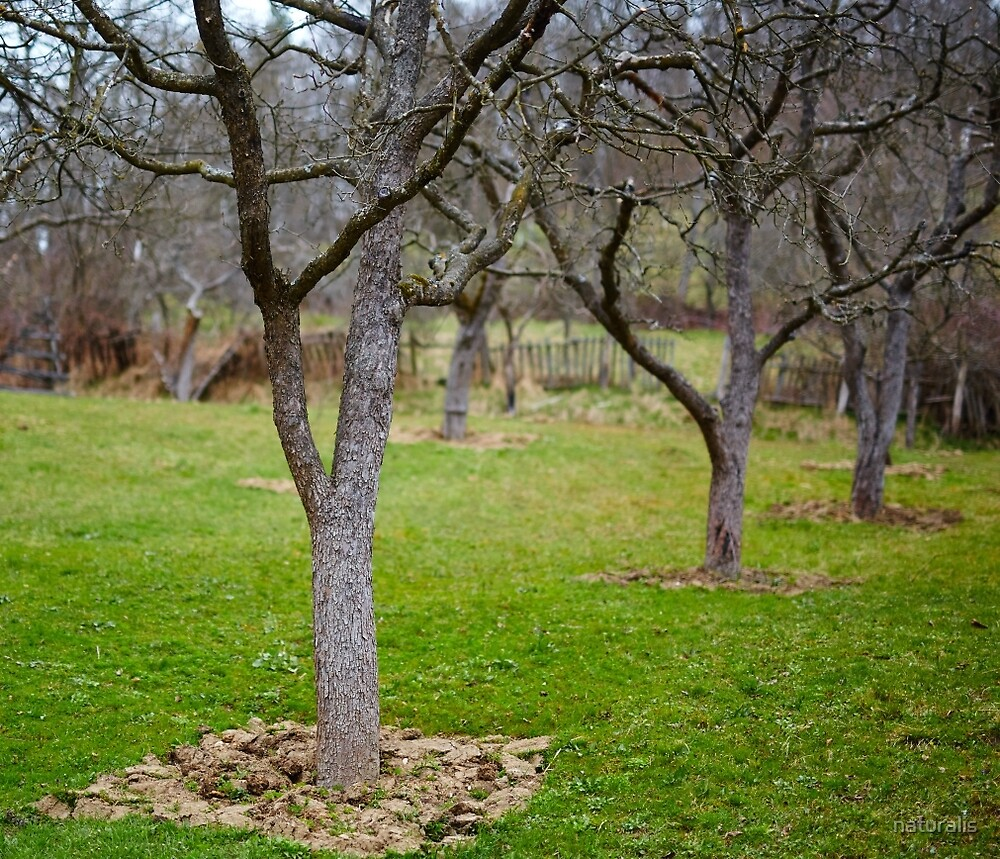 Old plum trees in an orchard by naturalis