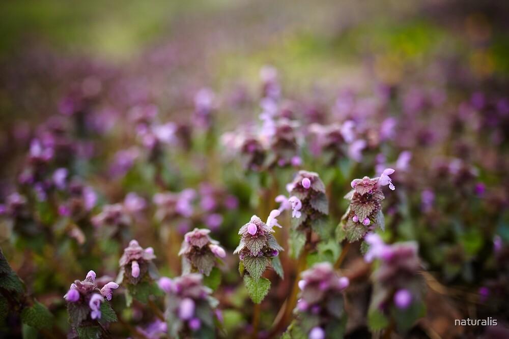 Deadnettle flowers closeup by naturalis