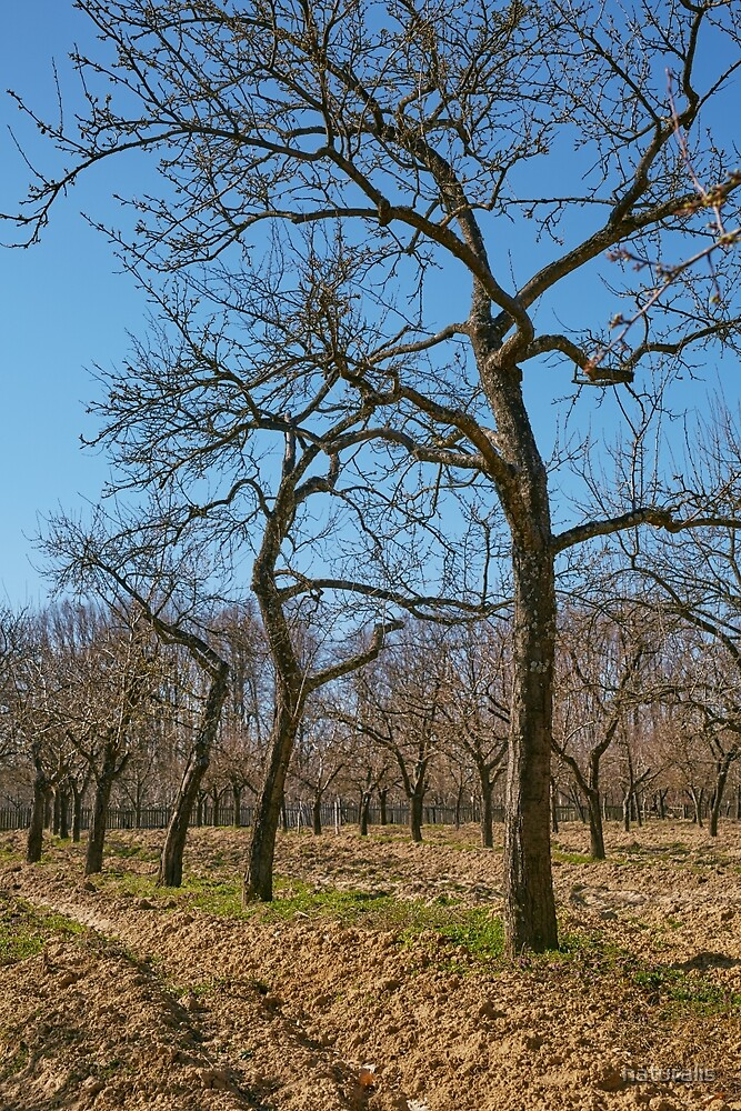 Very tall plum trees in an orchard by naturalis