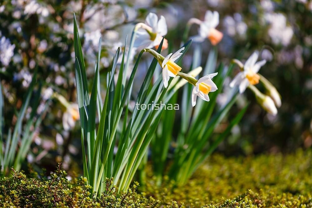 White wild narcissus  by torishaa