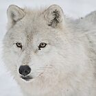 Arctic Wolfe At Parc Omega by Rose Landry