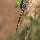 Dragon fly ! by SylvestreLeChat
