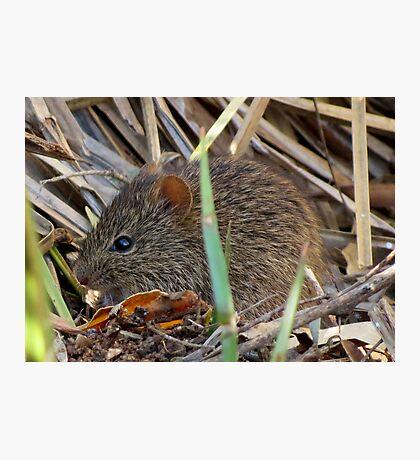 Arizona Cotton Rat Photographic Print