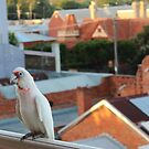 Corella at Echuca by brendanscully