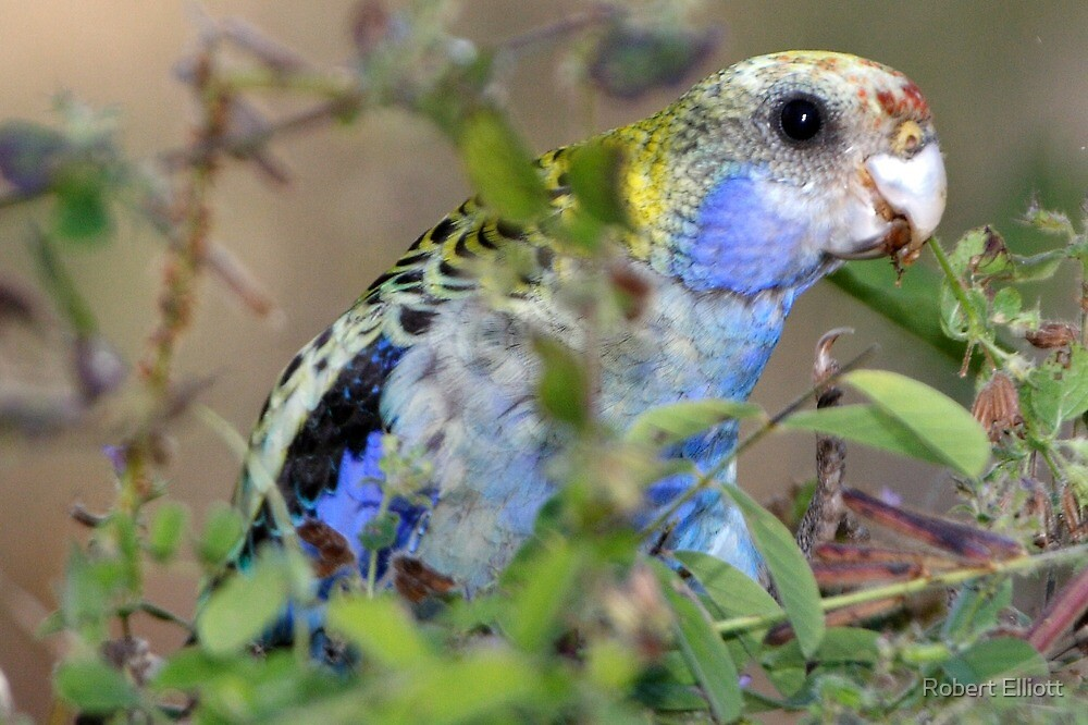 Pale-headed Rosella by Robert Elliott