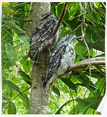 Tawny Frogmouths Poster