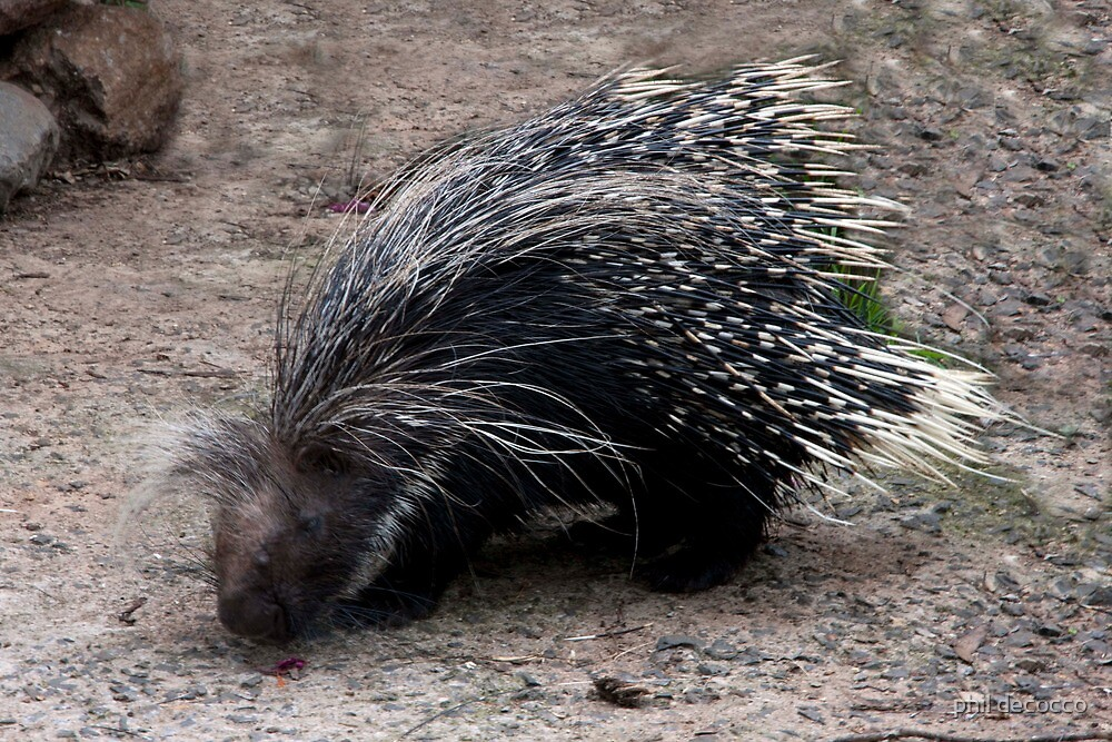 Crested Porcupine by phil decocco