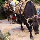 Yak on the Everest Trail #2 by Betsy  Seeton