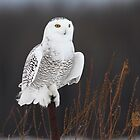Post BG / Snowy Owl by Gary Fairhead