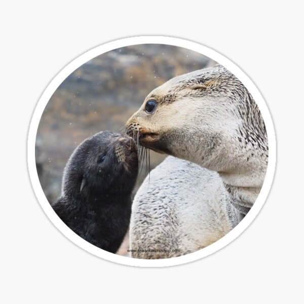 Fur Seal Love Sticker