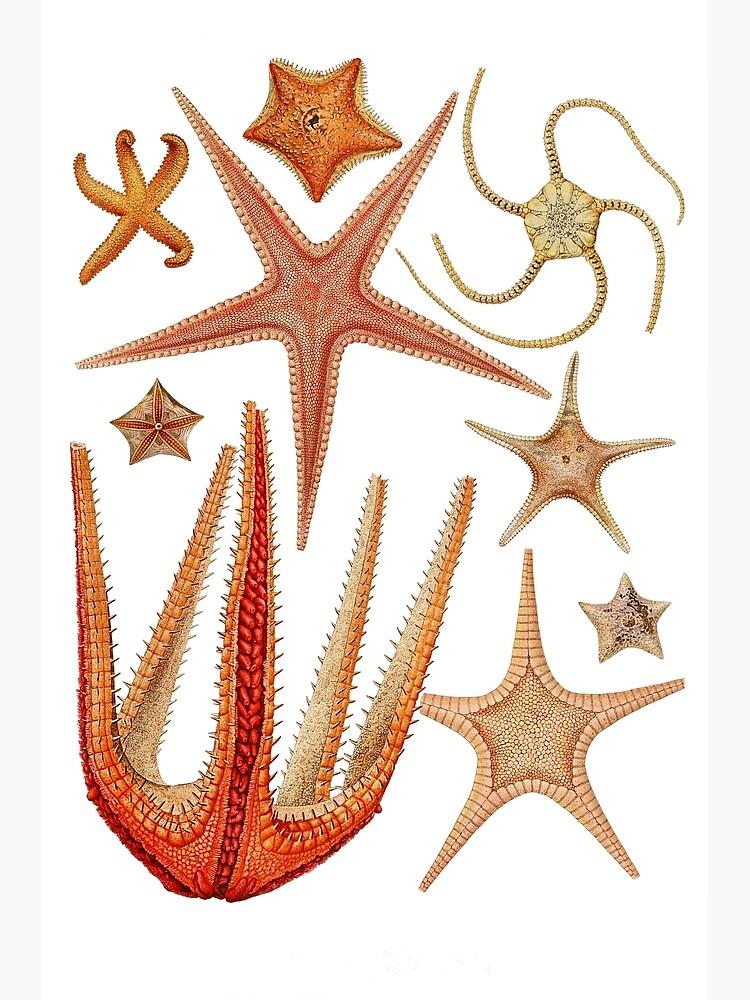 Starfish varieties set illustration by webcaff-design