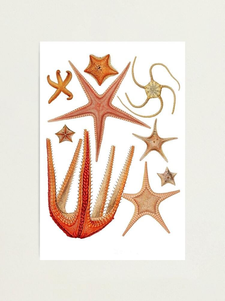 Alternate view of Starfish varieties set illustration Photographic Print