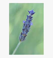 Lavender on muted green Photographic Print