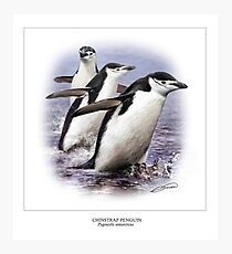 CHINSTRAP PENGUIN 2 Photographic Print