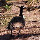 Canada Goose Going My Way by NatureExplora