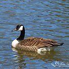 Beautiful Blue Canada Goose by NatureExplora