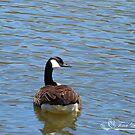 Pale Blue Canada Goose  by NatureExplora