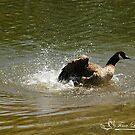 Wave Runner Canada Goose by NatureExplora