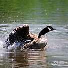 Surfing Waves Canada Goose by NatureExplora