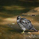 Bathing Broad Winged Hawk  by NatureExplora
