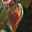 Late Summer Dogwood Leaves  by NatureExplora