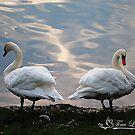 Mute Swan Interlude by NatureExplora
