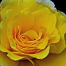 The Yellow Rose of Oregon by Cee Neuner