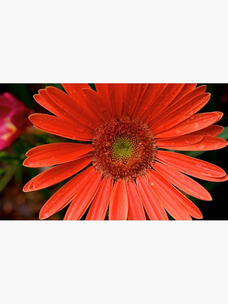 Gerbera Daisy by douglasewelch
