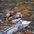 Autumn Mandarin by NatureExplora