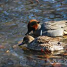 Green Winged Teal Couple by NatureExplora