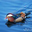 Beautiful Blue Mandarin by NatureExplora