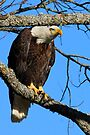 American Bald Eagle by NatureGreeting Cards ©ccwri