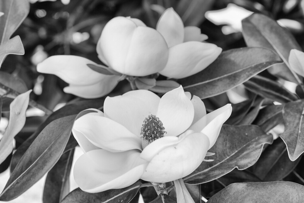 Black and white Magnolia by HHesterPhoto