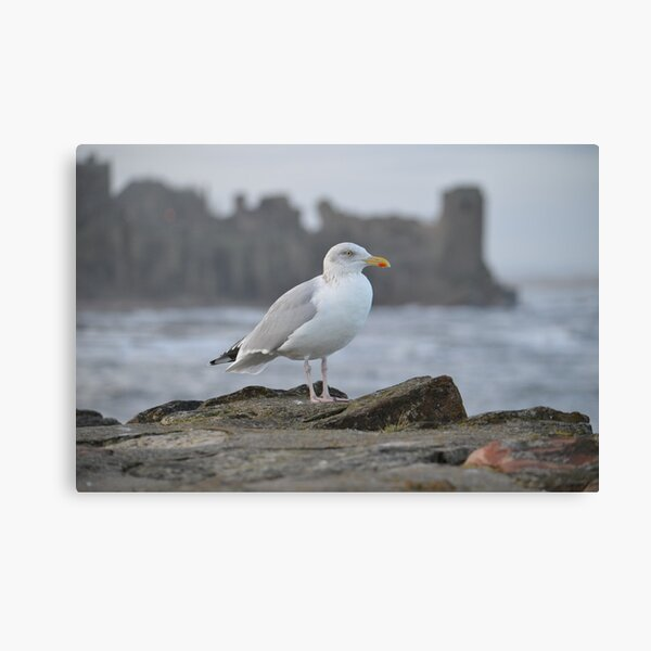 Seagull in Front of St Andrews Castle Canvas Print