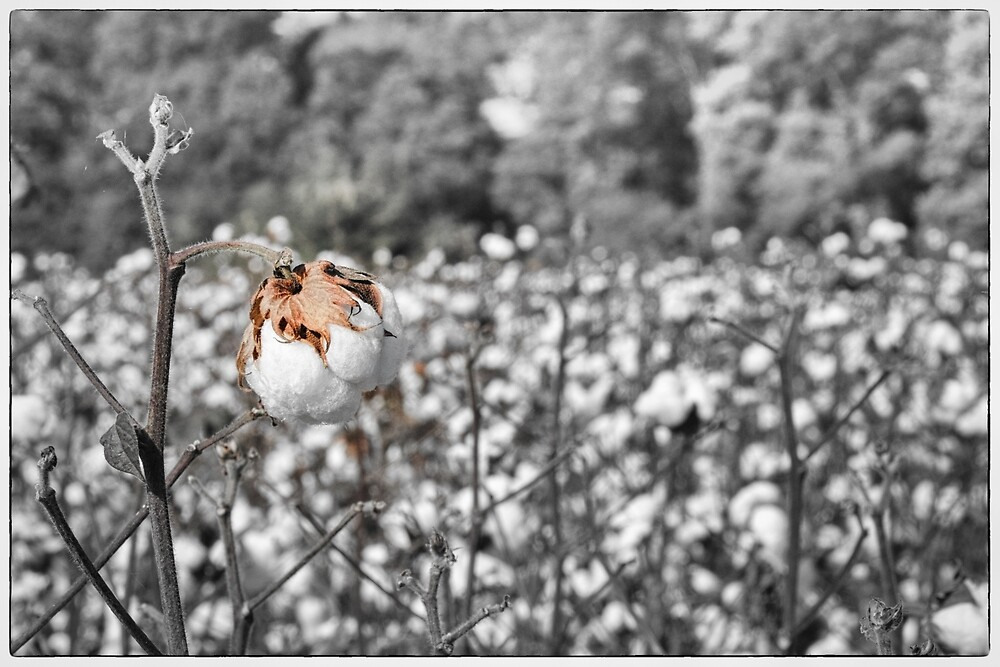 Cotton by HHesterPhoto
