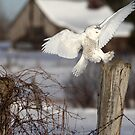 Snowy'ng At The Farm by Gary Fairhead