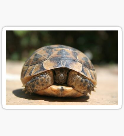 Young Spur Thighed Tortoise Looking Out of Its Shell Sticker