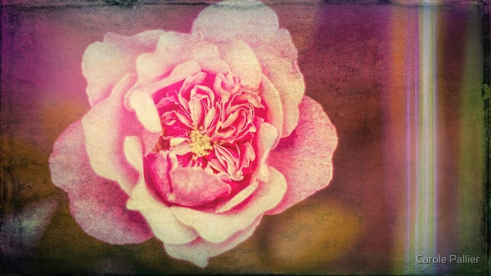 Tattered Rose by cazzazsnapz