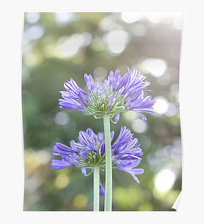 Agapanthus Bright Poster