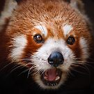 Red Panda Portrait by Manfred Belau
