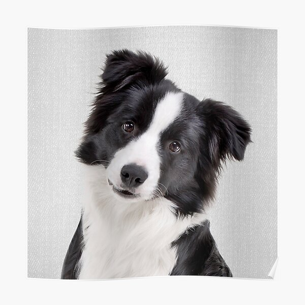 Border Collie - Colorful Poster