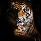 Tiger Portrait by Manfred Belau