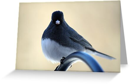 I see you!  -  Dark-eyed Junco by WalnutHill