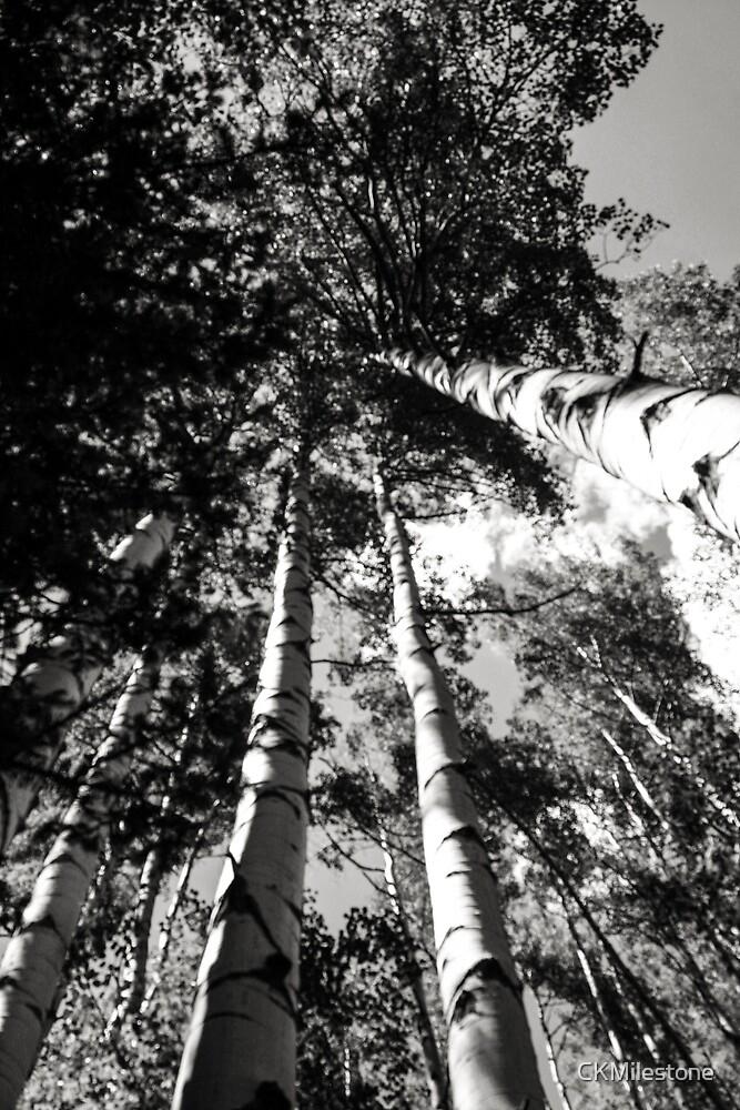 """Aspen Grove"" by CKMilestone"