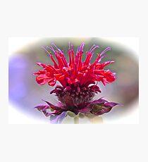 Bee Balm Photographic Print