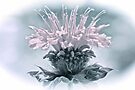 Muted Colors Bee Balm by NatureGreeting Cards ©ccwri