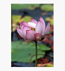 Lotus Ready To open Photographic Print